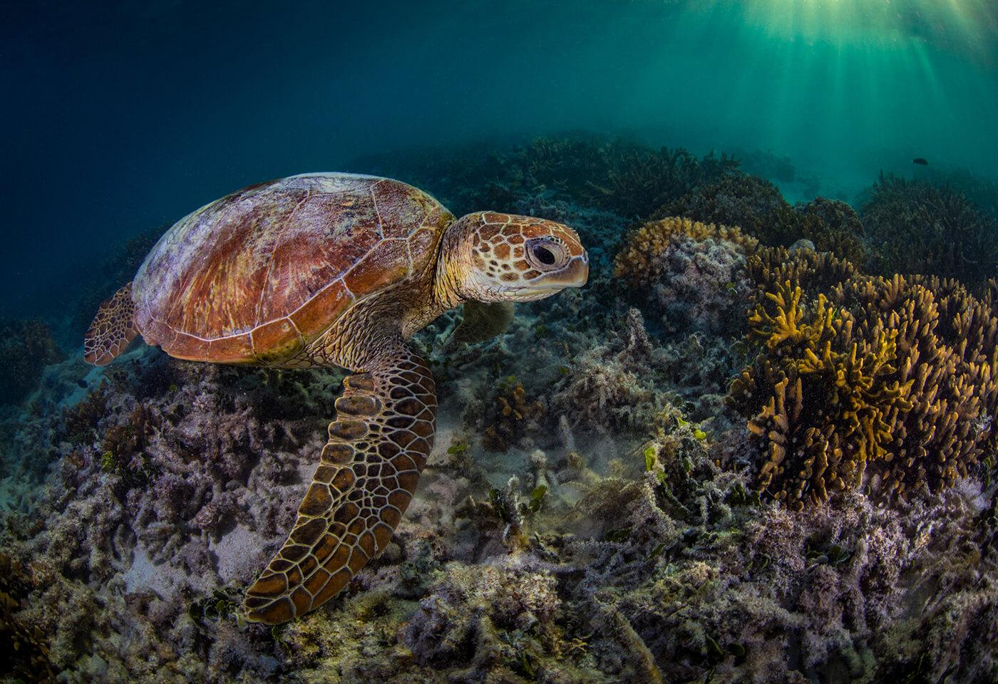 Underwater turtles by Greg Sullavan