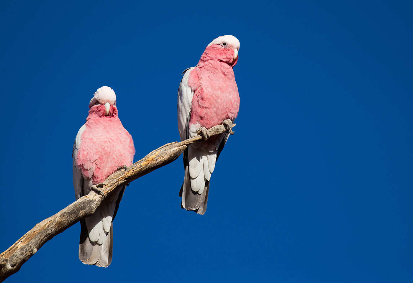 Portrait image of pink and white Cockatoos by Robert Irwin