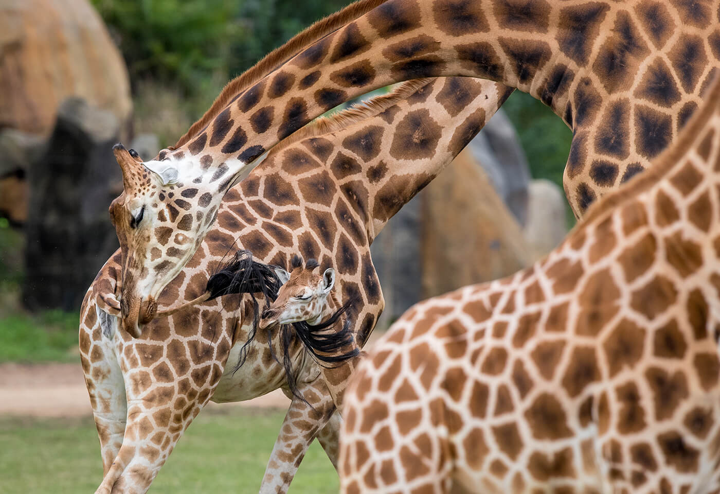 image of giraffes