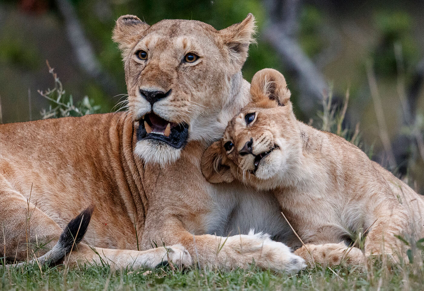 Portrait image of Lioness and cub