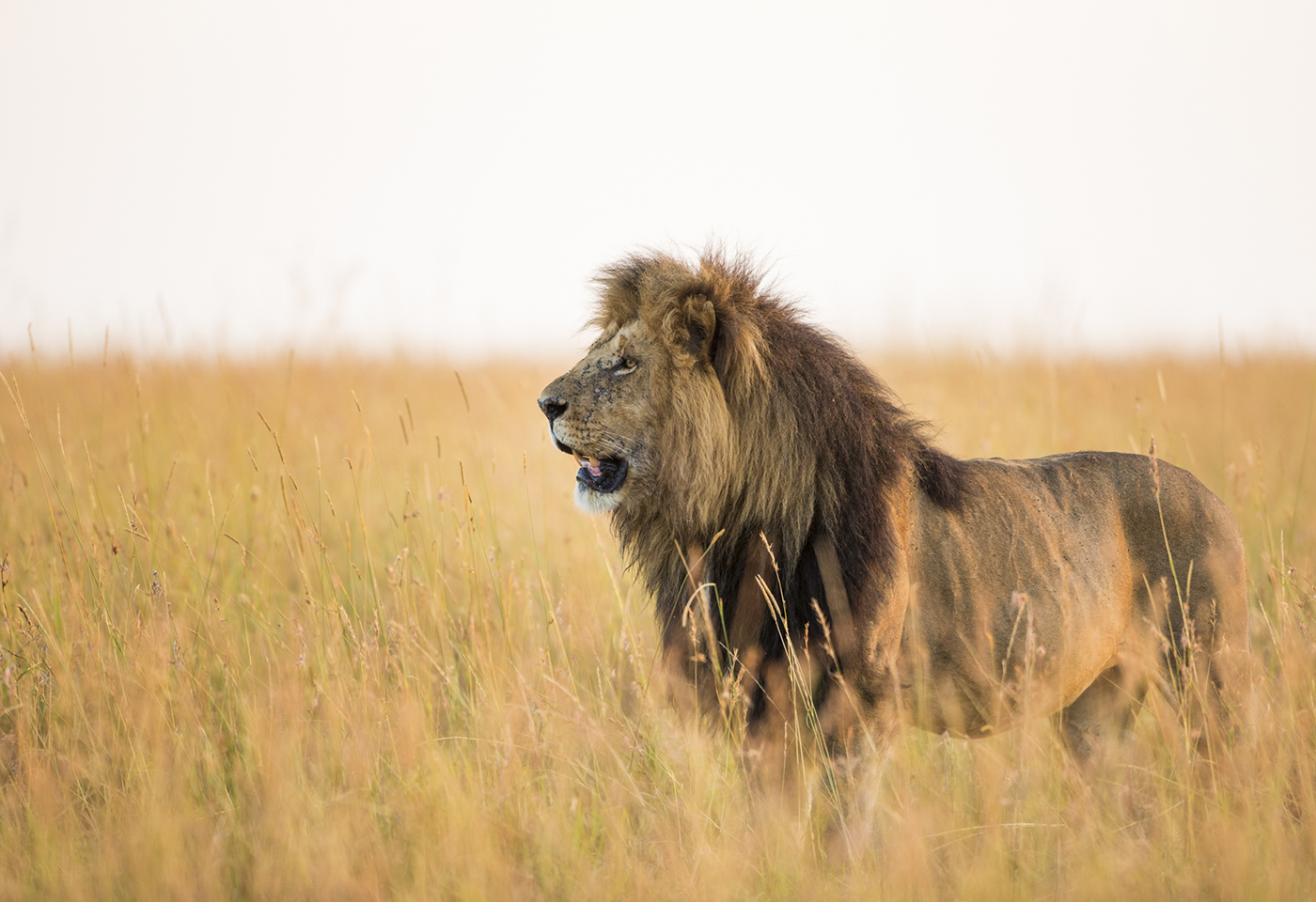 Portrait image of Lion facing away by Jay Collier