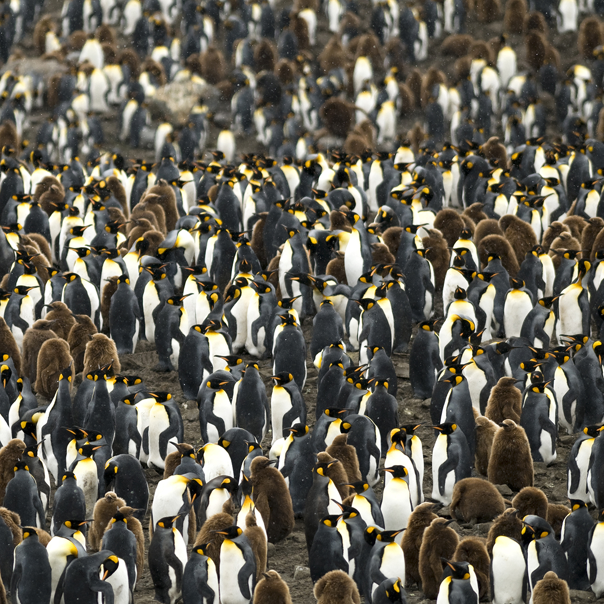 Colony of penguins