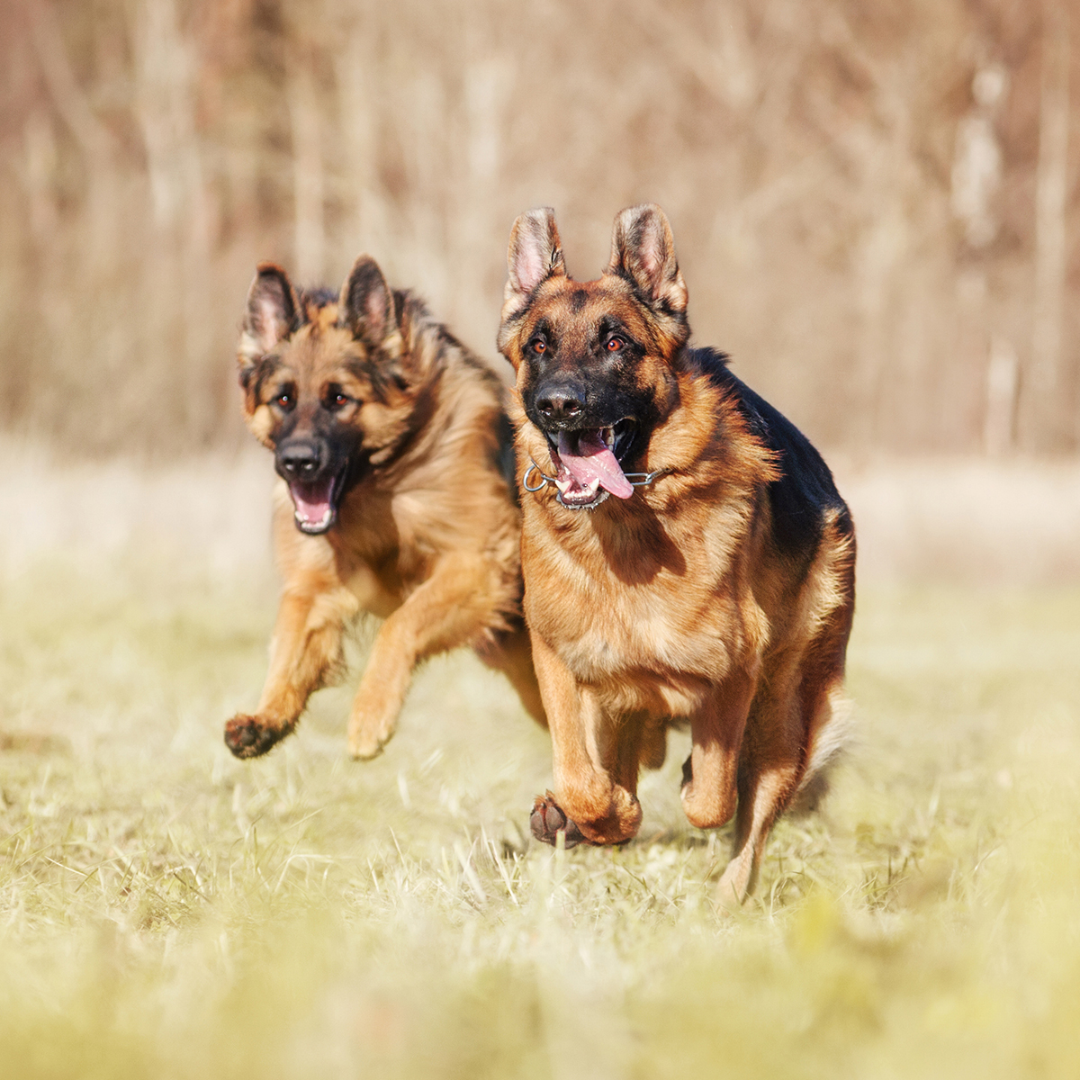 Two guard dogs running