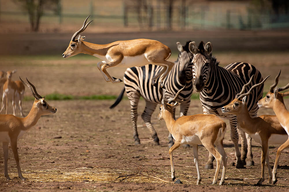 Western Plains Zoo animals by Jenn Cooper