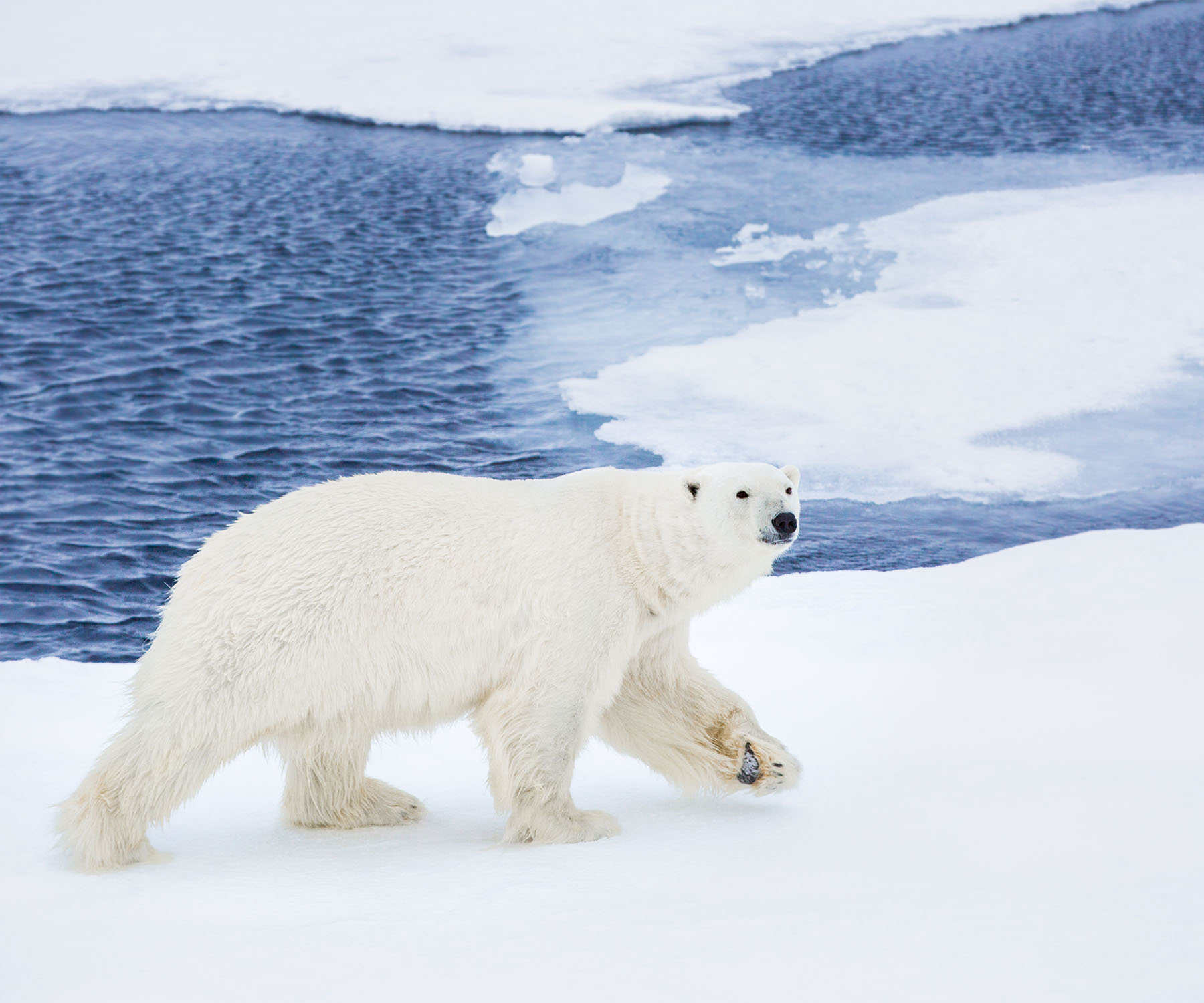 Landscape image of polar bear in arctic