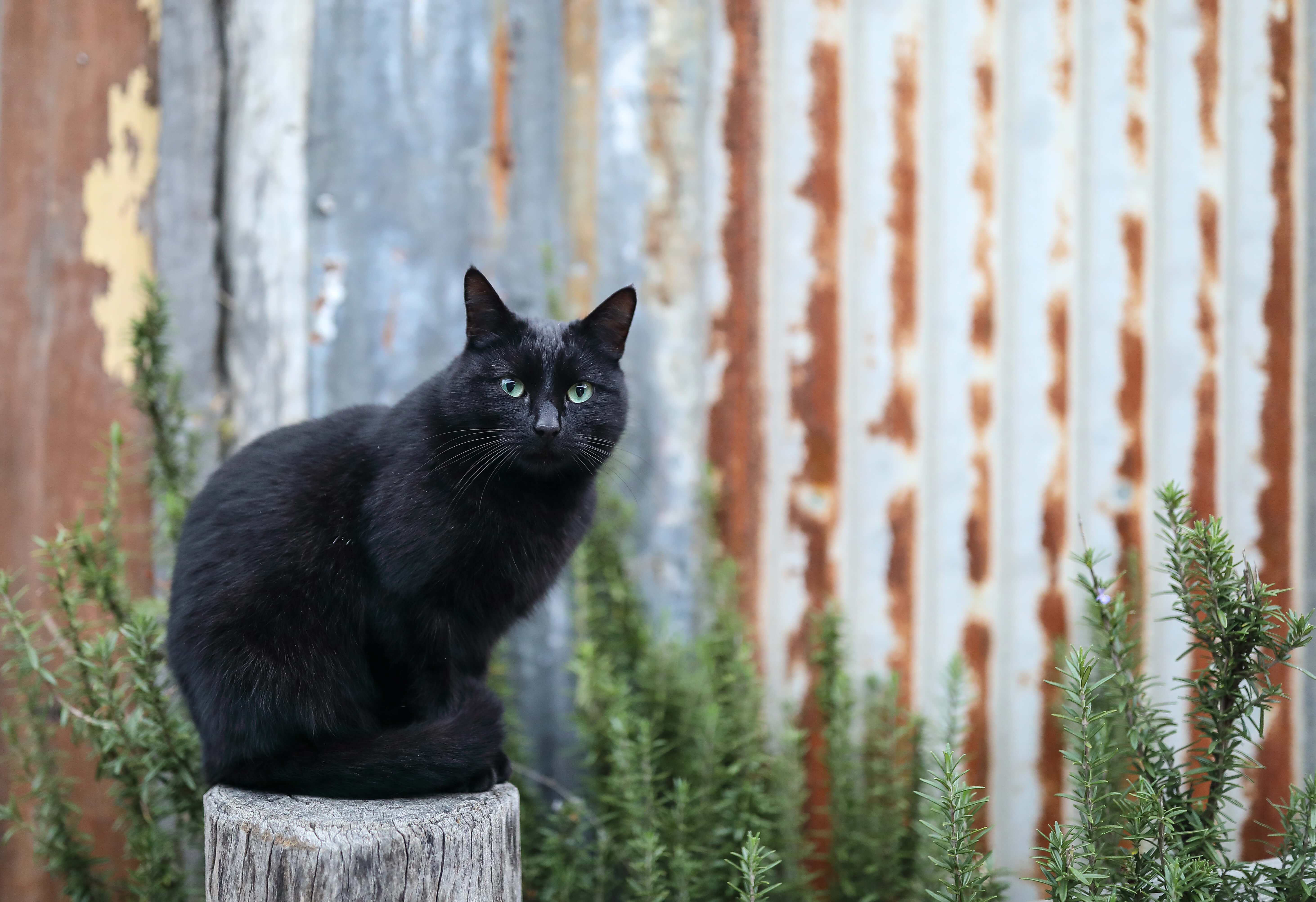 Photo of black cat sitting on tree stump next to shed taken by Dr. Chris Brown
