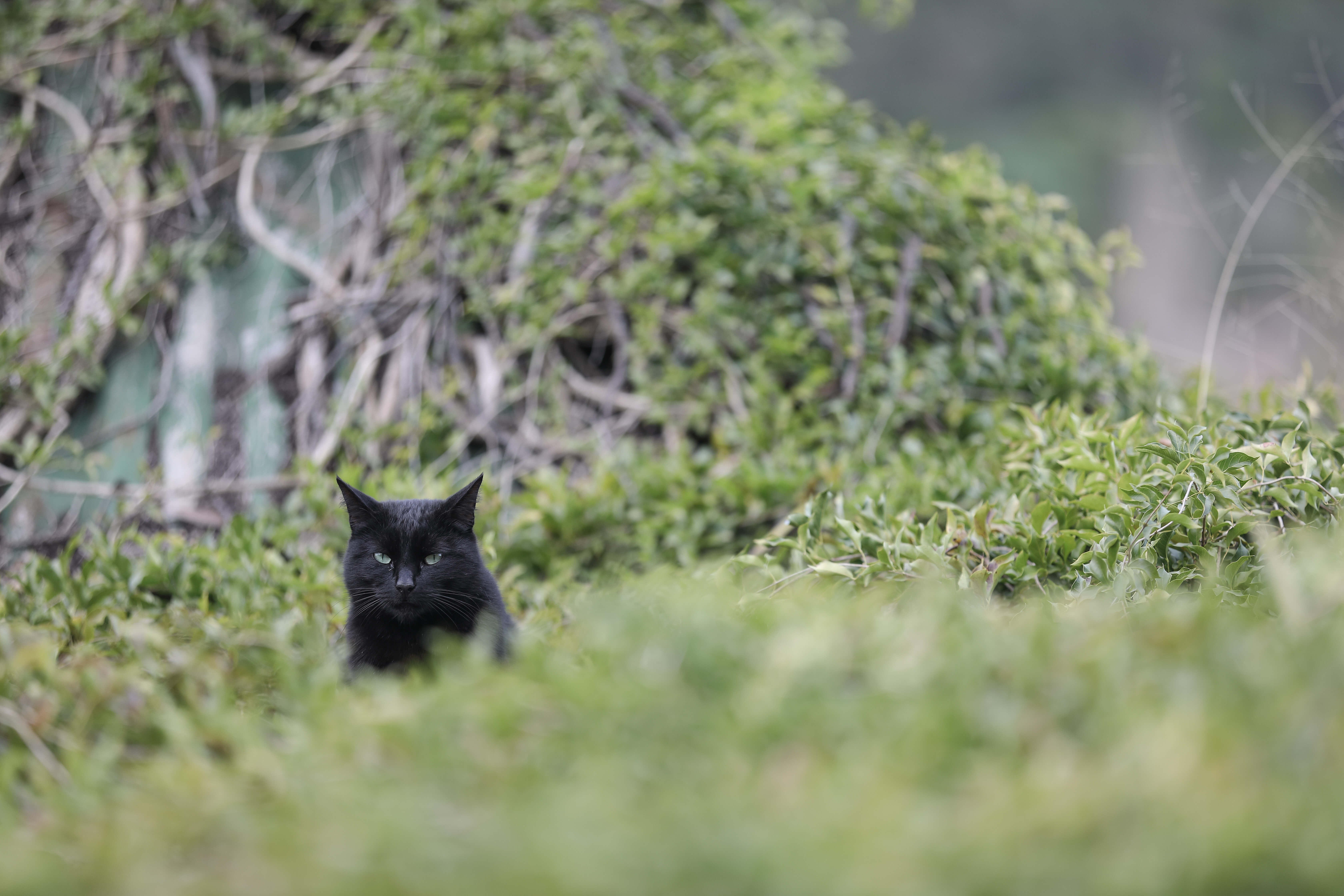 Image of black cat hiding in greenery taken by Dr. Chris Brown