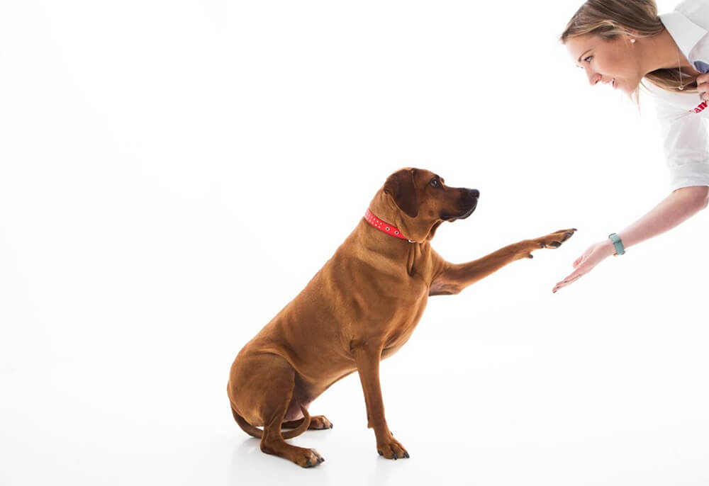 Labrador shaking hands with Jenn Cooper