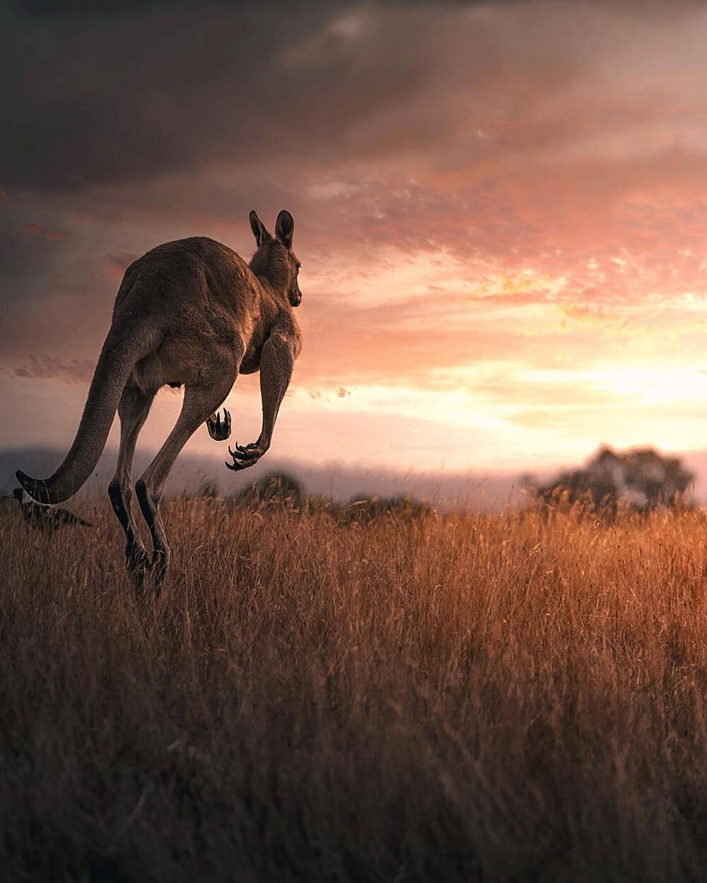 Image of kangaroo by @photo_shots_scapes