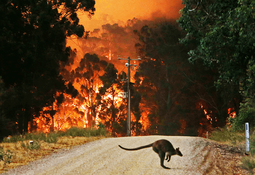 Image of a kangaroo in the bushfire by @afrancisphoto