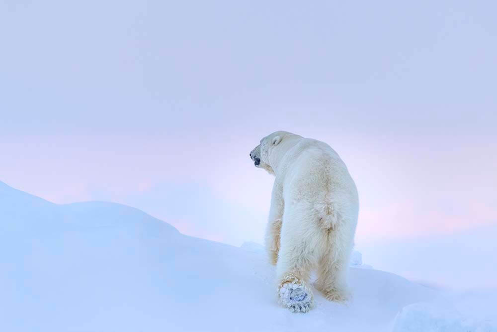Landscape image of polar bear