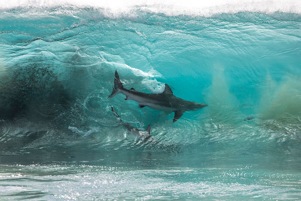 Landscape image of shark in wave