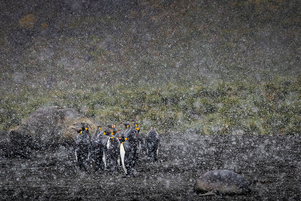 Landscape image of penguins in snow
