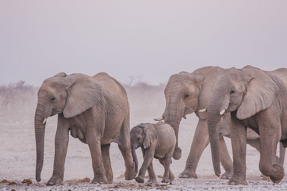 Etosha Elephants by Connie Cao