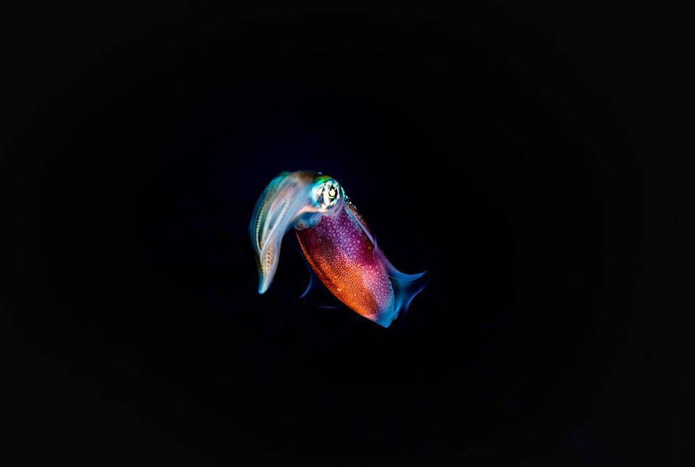 Macro underwater image of squid