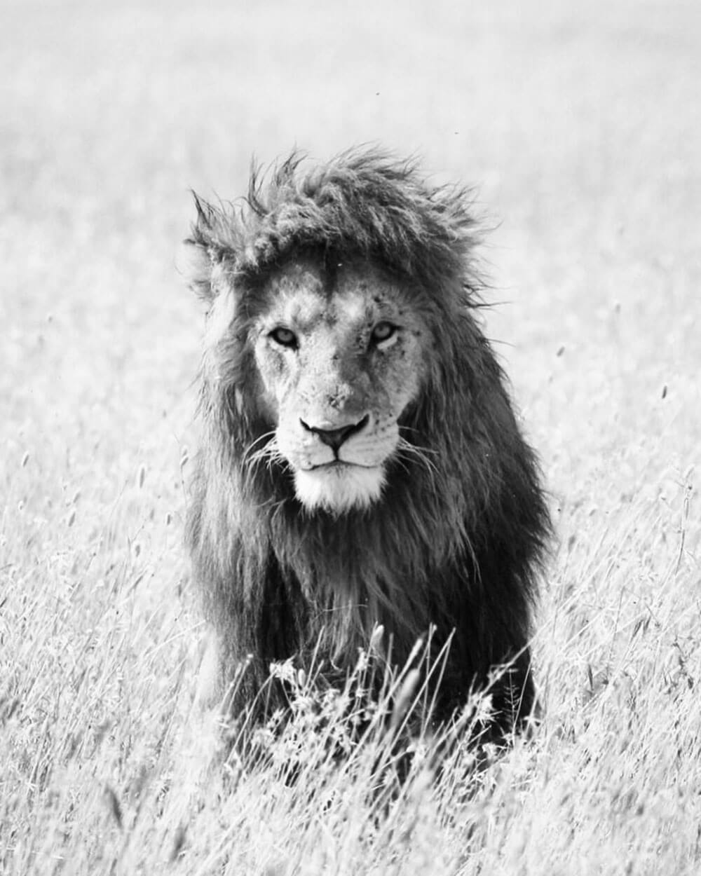Black and white portrait image of Lion