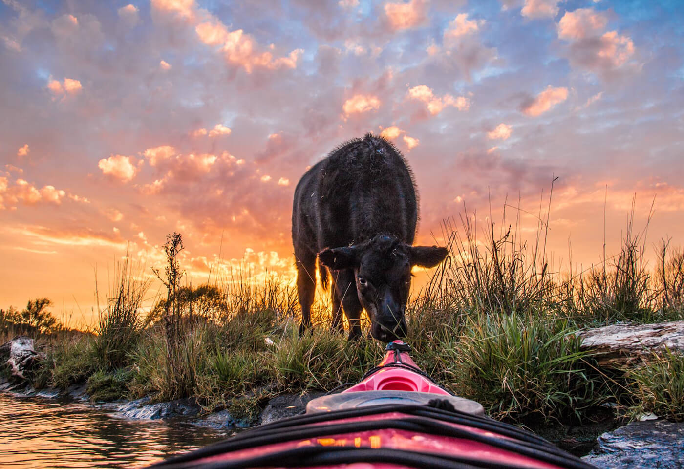 Cow sniffing front nose of a kayak