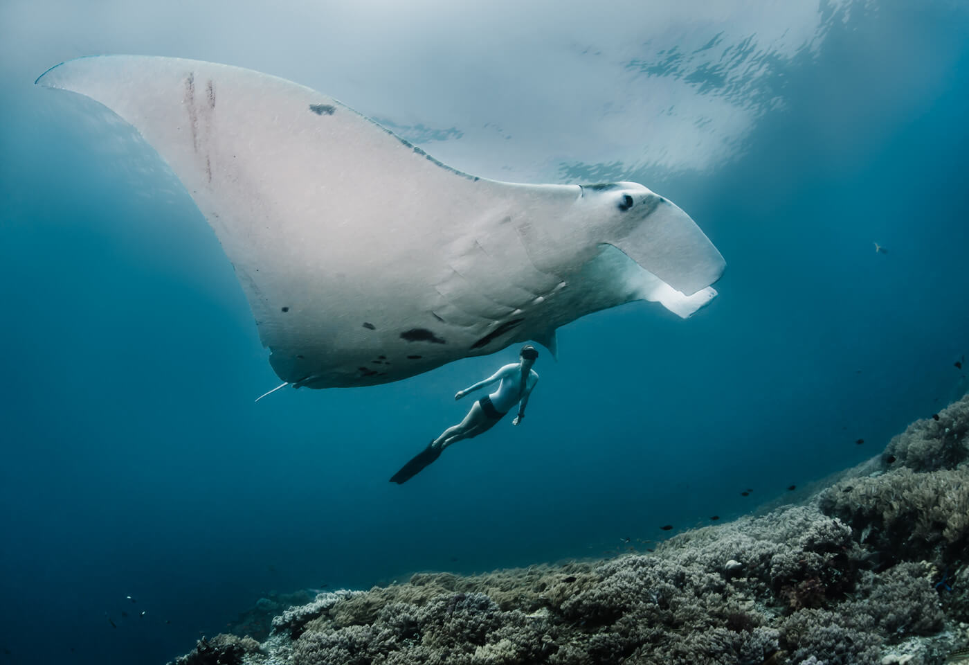 image of a manta ray in the Raja Ampat region, image by Shawn Heinrichs