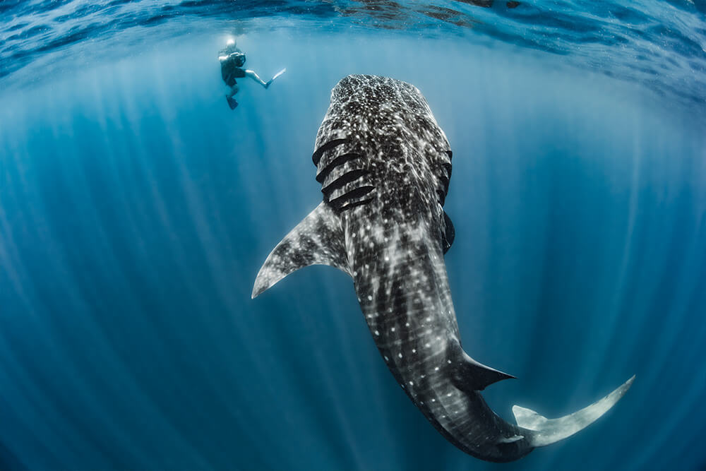 image of a whale shark next to a photographer in Isla Mujeres, Mexico