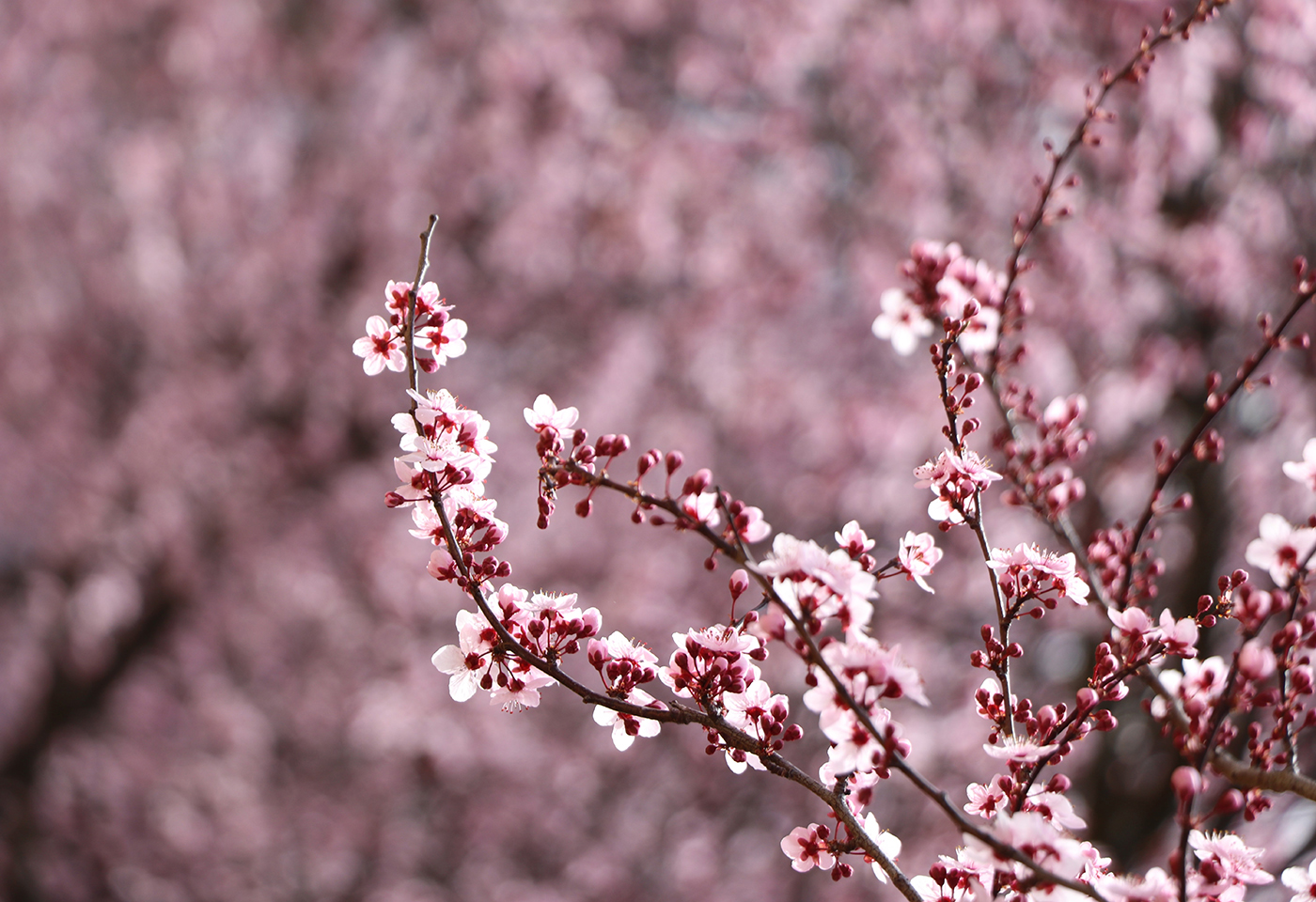 Macro image of pink cherry blossoms by @shutterkass
